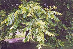 Butternut (Juglans cinerea) at Hunniford Gardens