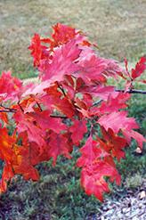 Red Oak (Quercus rubra) at Hunniford Gardens