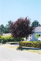 Newport Plum (Prunus cerasifera 'Newport') at Hunniford Gardens