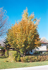 Oakleaf Mountain Ash (Sorbus x hybrida) at Hunniford Gardens