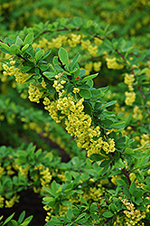 Emerald Carousel Barberry (Berberis 'Tara') at Hunniford Gardens