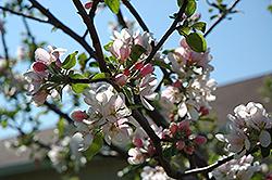 Goodland Apple (Malus 'Goodland') at Hunniford Gardens