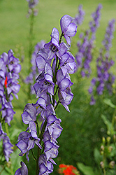 Common Monkshood (Aconitum napellus) at Hunniford Gardens