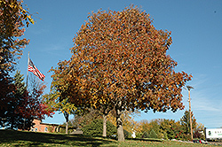 Autumn Splendor Buckeye (Aesculus 'Autumn Splendor') at Hunniford Gardens