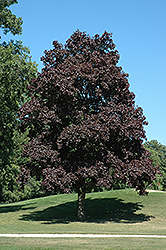 Crimson King Norway Maple (Acer platanoides 'Crimson King') at Hunniford Gardens