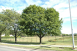 Norway Maple (Acer platanoides) at Hunniford Gardens