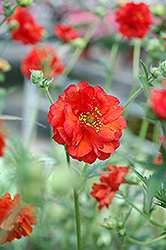 Blazing Sunset Avens (Geum 'Blazing Sunset') at Hunniford Gardens