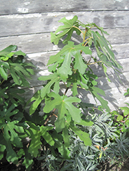 Chicago Hardy Fig (Ficus carica 'Chicago Hardy') at Hunniford Gardens