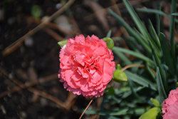 Fruit Punch® Classic Coral Pinks (Dianthus 'Classic Coral') at Hunniford Gardens