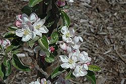 Zestar Apple (Malus 'Zestar') at Hunniford Gardens