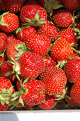 Tristar Strawberry (Fragaria 'Tristar') at Hunniford Gardens