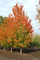 Inferno Sugar Maple (Acer saccharum 'Jeferno') at Hunniford Gardens