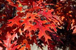Majestic Skies Northern Pin Oak (Quercus ellipsoidalis 'Bailskies') at Hunniford Gardens