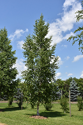 Prairie Dream Paper Birch (Betula papyrifera 'Varen') at Hunniford Gardens