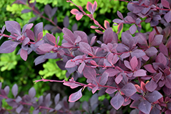 Royal Cloak Japanese Barberry (Berberis thunbergii 'Royal Cloak') at Hunniford Gardens