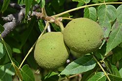 Black Walnut (Juglans nigra) at Hunniford Gardens